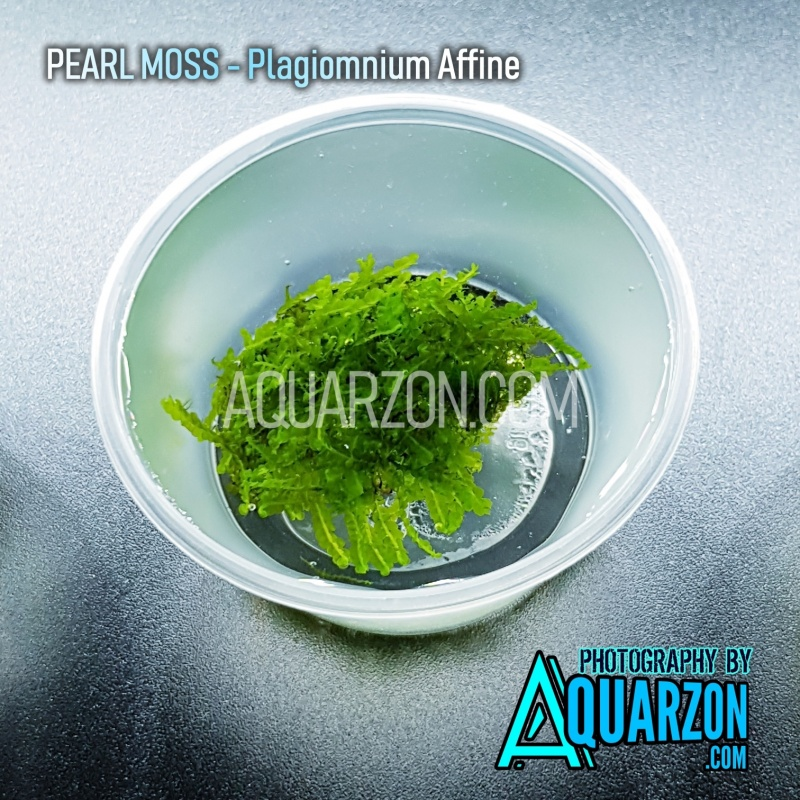 rare-pearl-moss-plagiomnium-cf-affine.jpg