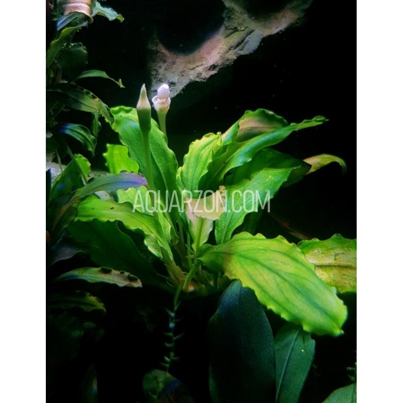 uncommon-bucephalandra-g2-watermelon-pattern.jpg