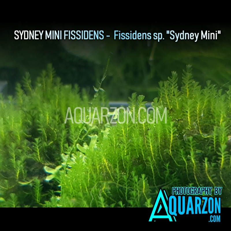rare-sydney-mini-fissidens.jpg