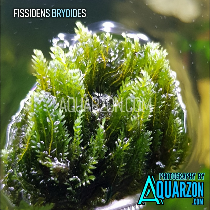 extremely-rare-fissidens-bryoides.jpg