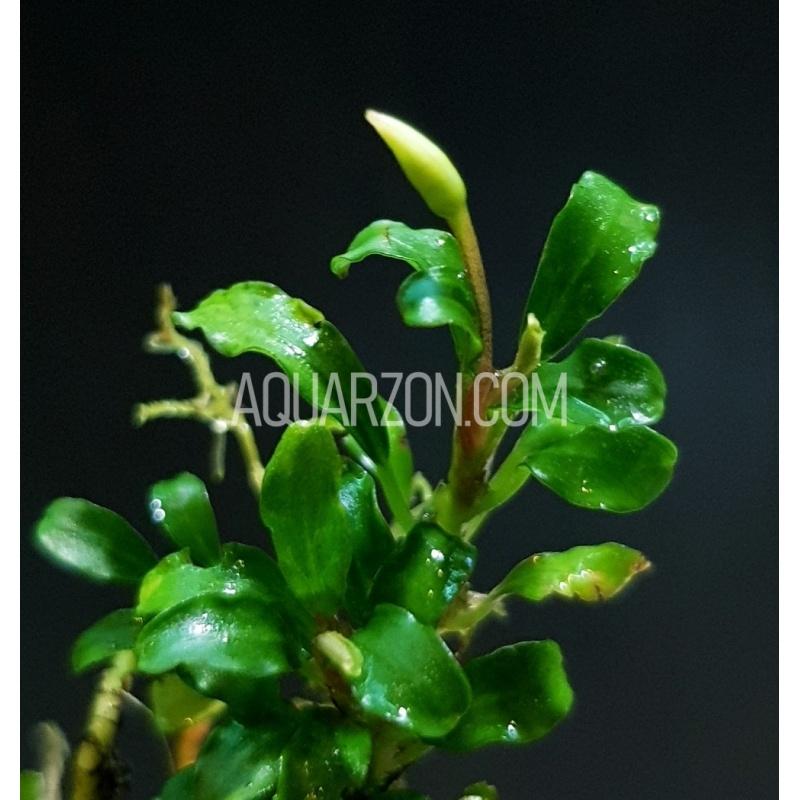 bucephalandra-mini-sekadau-bucephalandra-sp-mini-sekadau-.jpg