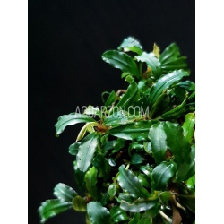 BUCEPHALANDRA NARROW...