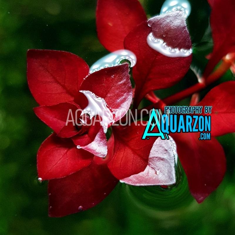 ludwigia-mini-super-red-quality-aquarium-submersed-grown.jpg