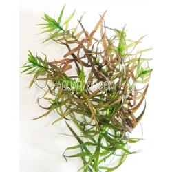 DIDIPLIS DIANDRA - Stem Plant