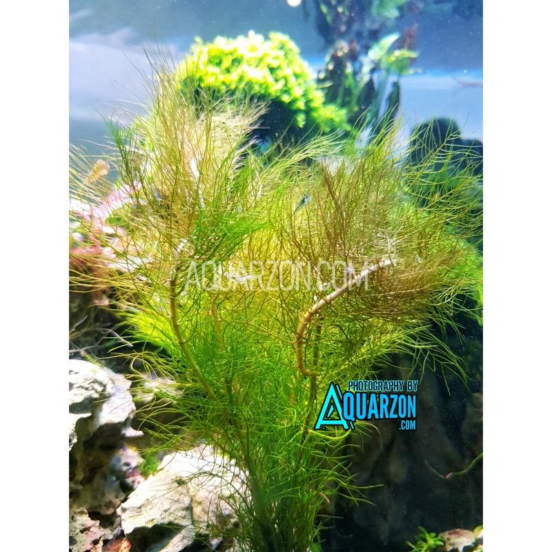 australian-myriophyllum-diccocum-quality-aquarium-submersed-grown.jpg