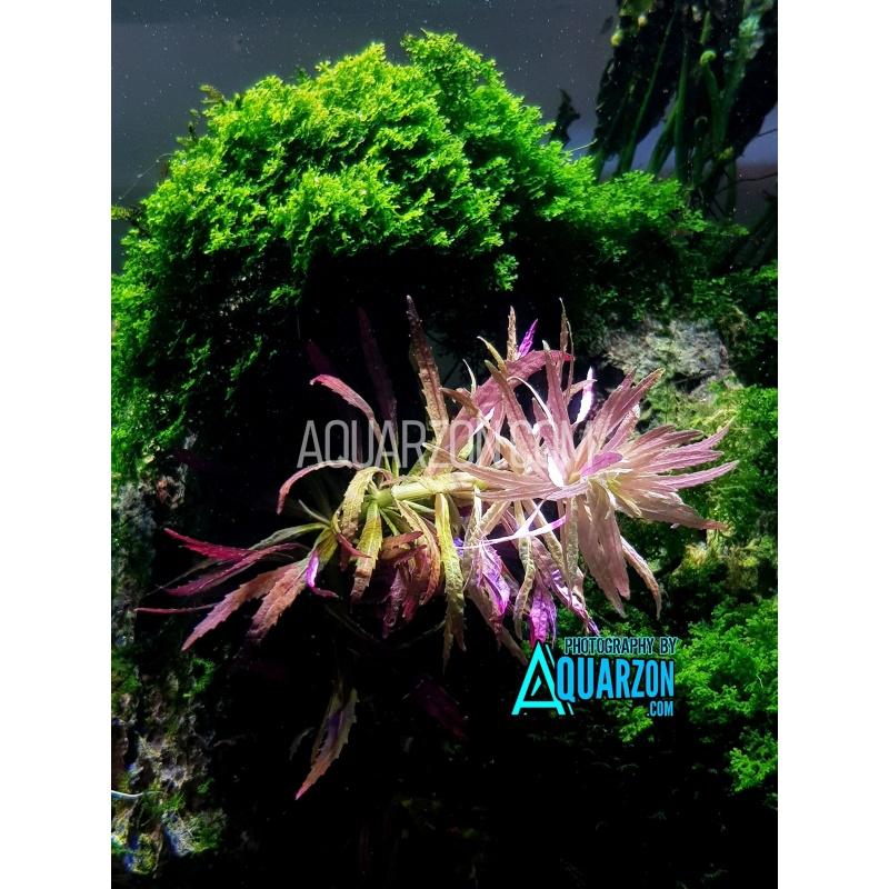 limnophila-hippuridoides-quality-aquarium-submersed-grown.jpg