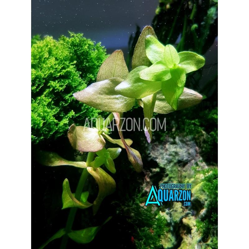 bacopa-caroliniana-quality-aquarium-submersed-grown.jpg