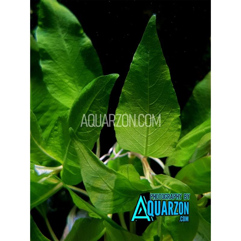 hygrophila-corymbosa-compact-quality-aquarium-submersed-grown.jpg