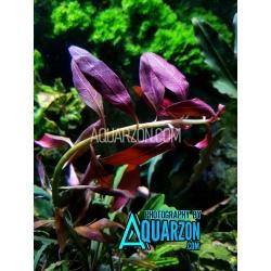 Ludwigia Glandulosa 3 Stems...