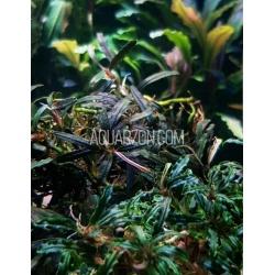 5 Varieties Bucephalandra...
