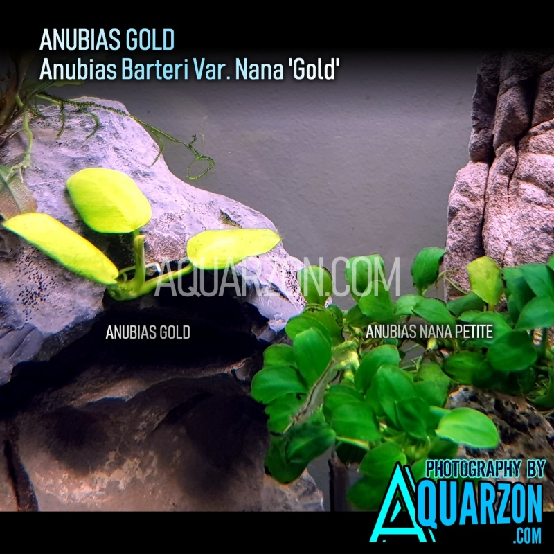 very-rare-anubias-gold-anubias-barteri-var-nana-gold-.jpg