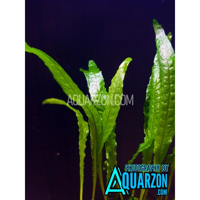uncommon-mini-java-fern-microsorum-pteropus-sp-mini-.jpg