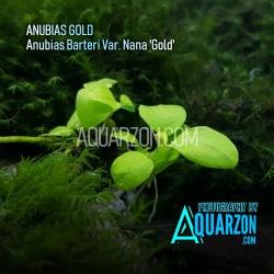 RARE ANUBIAS GOLD - Anubias...