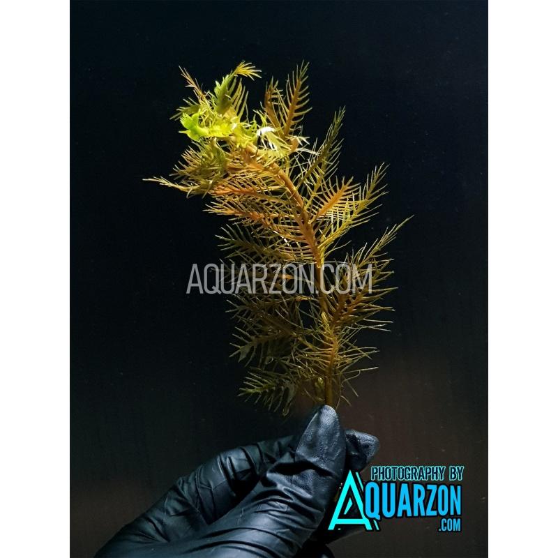 uncommon-proserpinaca-palustris-orange-red-mermaid-quality-aquarium-submersed-grown.jpg