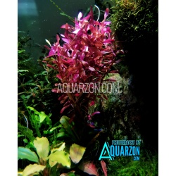 RARE ROTALA BLOOD RED 6 Stems