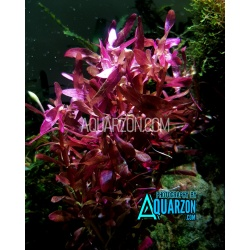 RARE ROTALA BLOOD RED 5 Stems