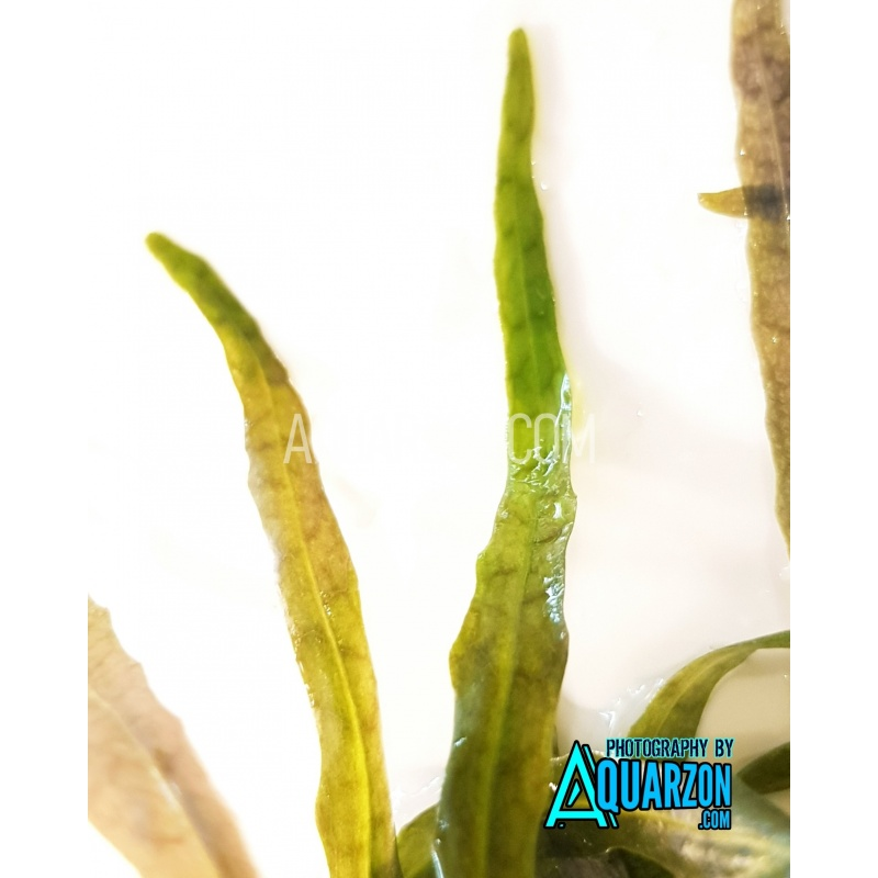 uncommon-hygrophila-tiger-stem-plant-quality-aquarium-submersed-grown.jpg