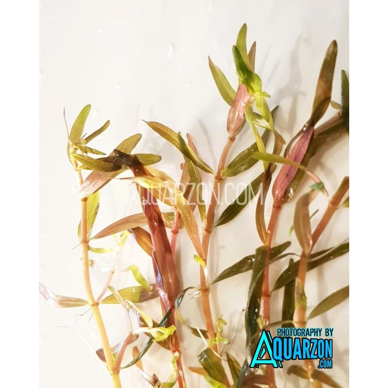 rotala-h-ra-gia-lai-quality-aquarium-submersed-grown.jpg