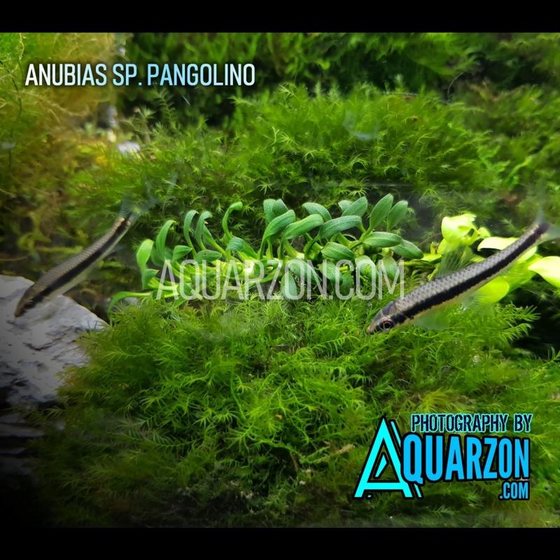 very-rare-anubias-pangolino-anubias-sp-pangolino-.jpg