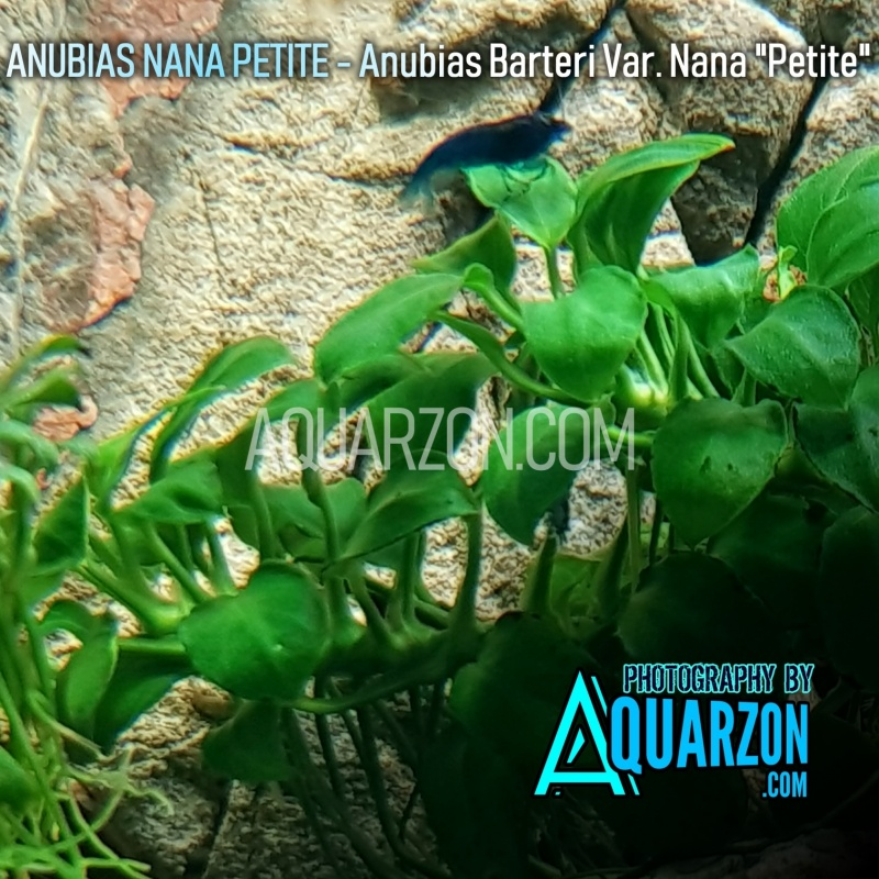 anubias-nana-petite-aquarium-submersed-grown.jpg