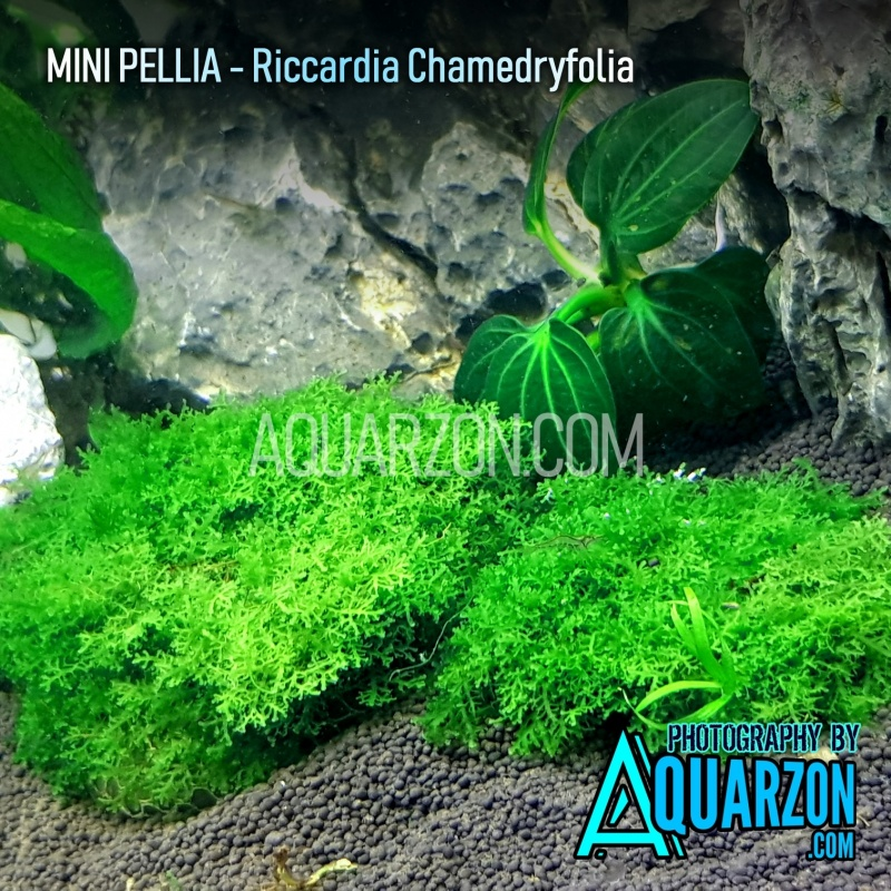 mini-pellia-riccardia-sp-chamedryfolia-.jpg