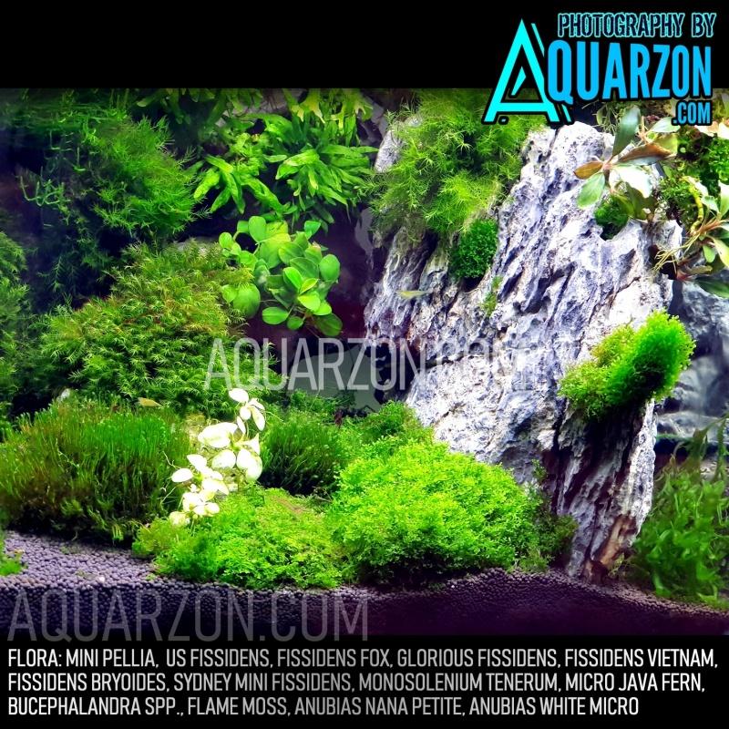 mini-pellia-riccardia-chamedryfolia.jpg