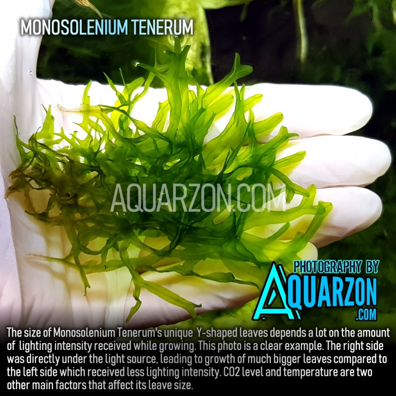 rare-true-monosolenium-tenerum-not-suesswassertang.jpg