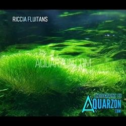 RICCIA FLUITANS - Fully...