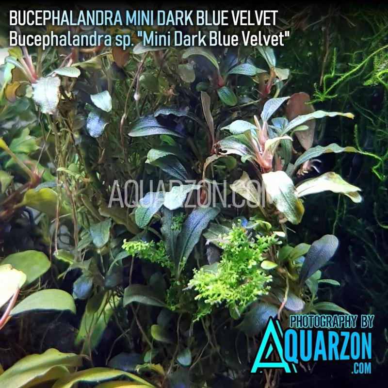 rare-buce-mini-velvet-dark-blue-bucephalandra-sp-mini-velvet-dark-blue-.jpg