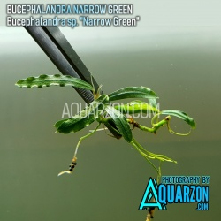 BUCEPHALANDRA NARROW GREEN...