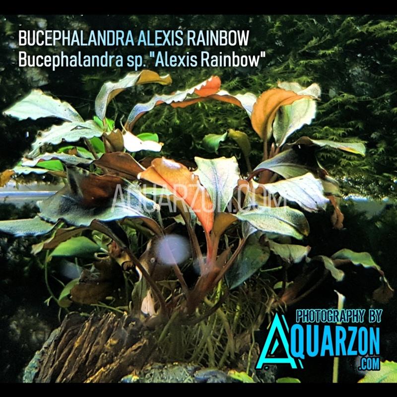 rare-bucephalandra-alexis-rainbow-bucephalandra-sp-alexis-rainbow-.jpg