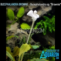 BUCEPHALANDRA BROWNIE -...