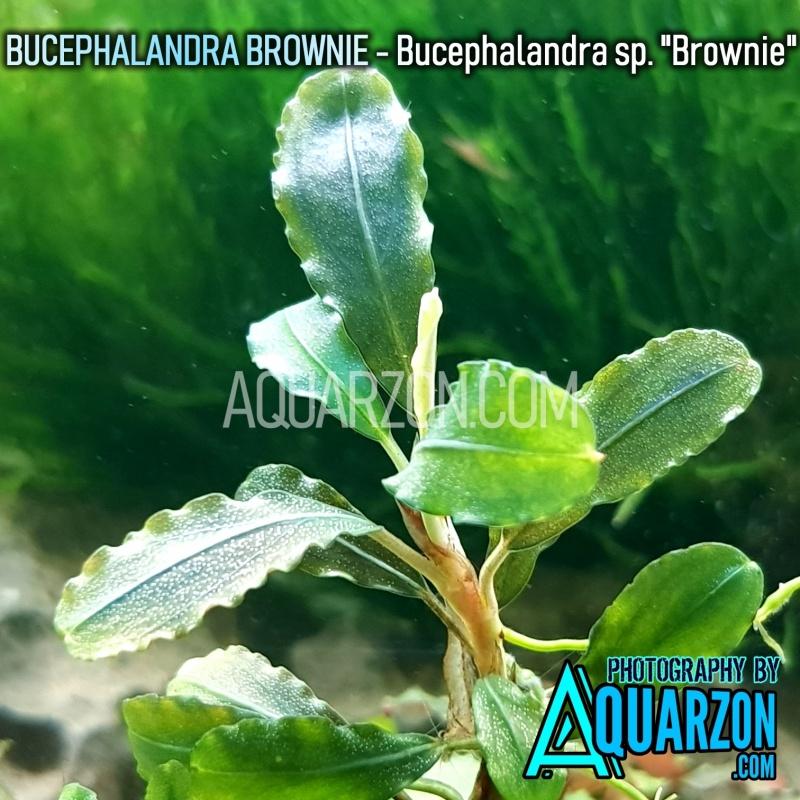 bucephalandra-brownie-bucephalandra-sp-brownie-.jpg