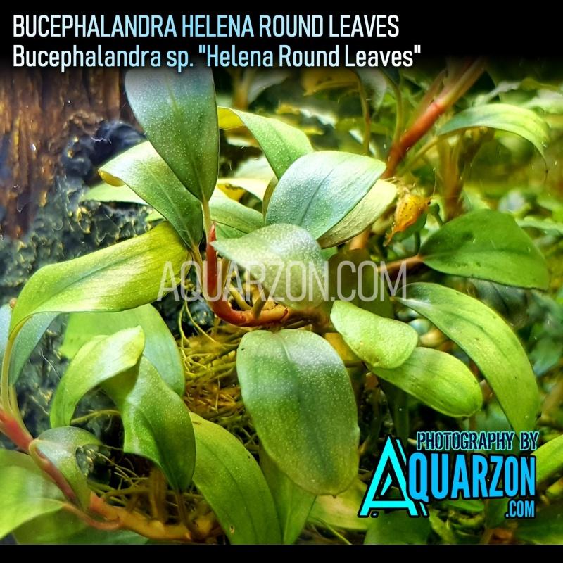 uncommon-bucephalandra-helena-bucephalandra-sp-helena-.jpg
