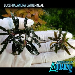 BUCEPHALANDRA CATHERINAE -...
