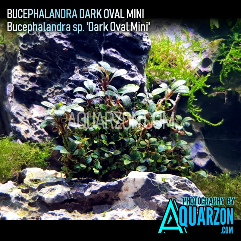 bucephalandra-dark-oval-mini-bucephalandra-sp-dark-oval-mini-.jpg