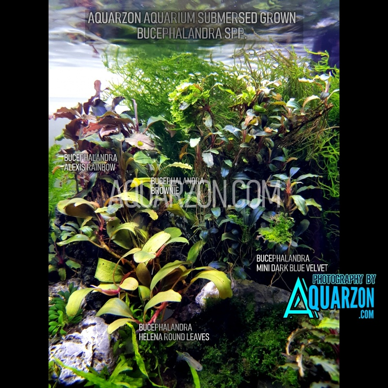 1-bucephalandra-rhizome-fresh-cutting.jpg