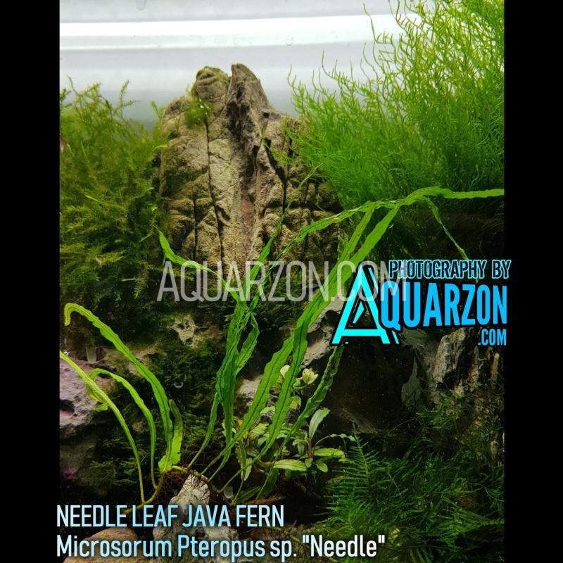 needle-leaf-java-fern-microsorum-pteropus-sp-needle-.jpg