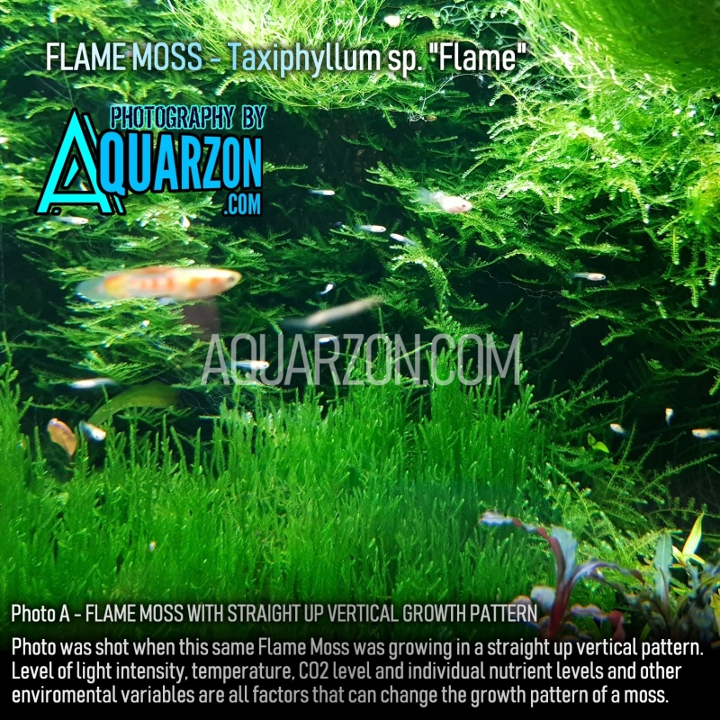 flame-moss-taxiphyllum-sp-flame-.jpg