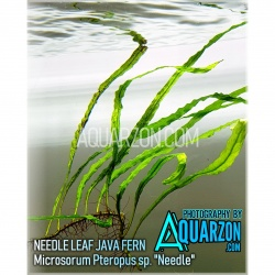 NEEDLE LEAF JAVA FERN -...