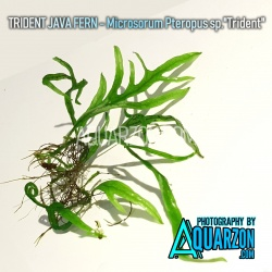UNCOMMON TRIDENT JAVA FERN...