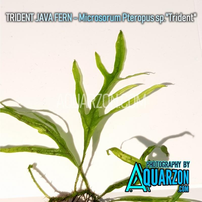 uncommon-trident-java-fern-microsorum-pteropus-sp-trident-.jpg