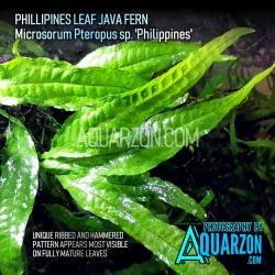 RARE TRUE PHILIPPINES FERN...