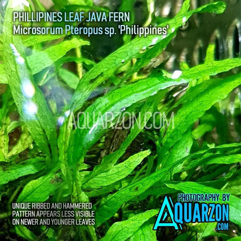 rare-true-philippines-fern-microsorum-pteropus-sp-philippines-.jpg