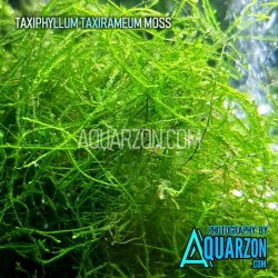 NATIVE TAXIRAMEUM MOSS -...