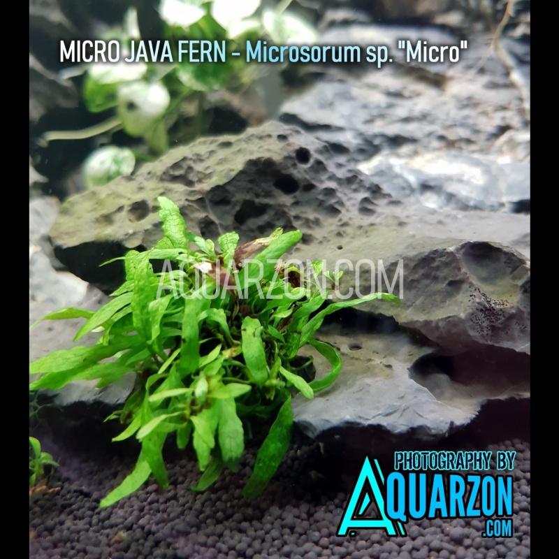 rare-true-micro-java-fern-microsorum-pteropus-sp-micro-.jpg
