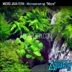 RARE TRUE MICRO JAVA FERN -...