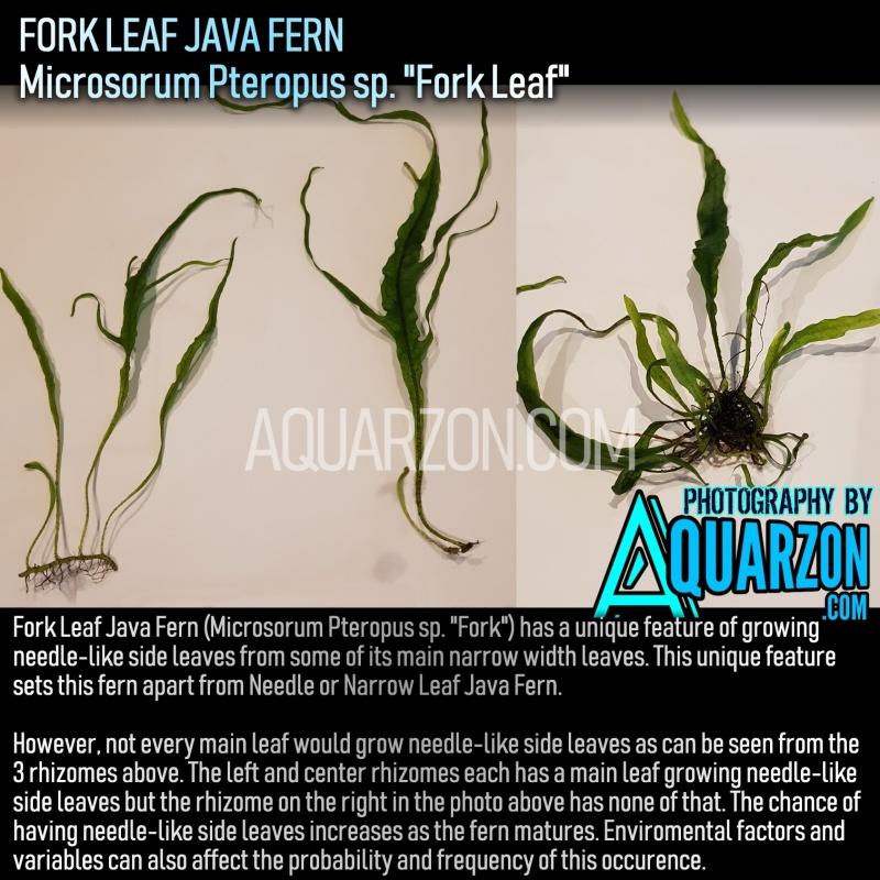 extremely-rare-fork-leaf-fern-microsorum-pteropus-sp-fork-leaf-.jpg
