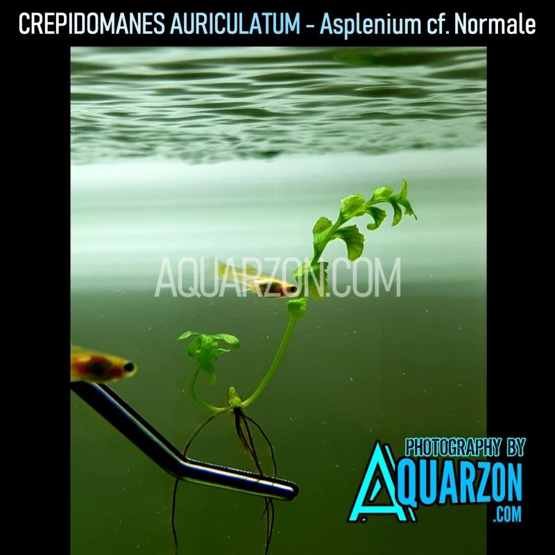 rare-crepidomanes-auriculatum-fern-asplenium-cf-normale.jpg
