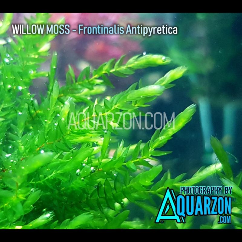 willow-moss-fontinalis-antipyretica.jpg